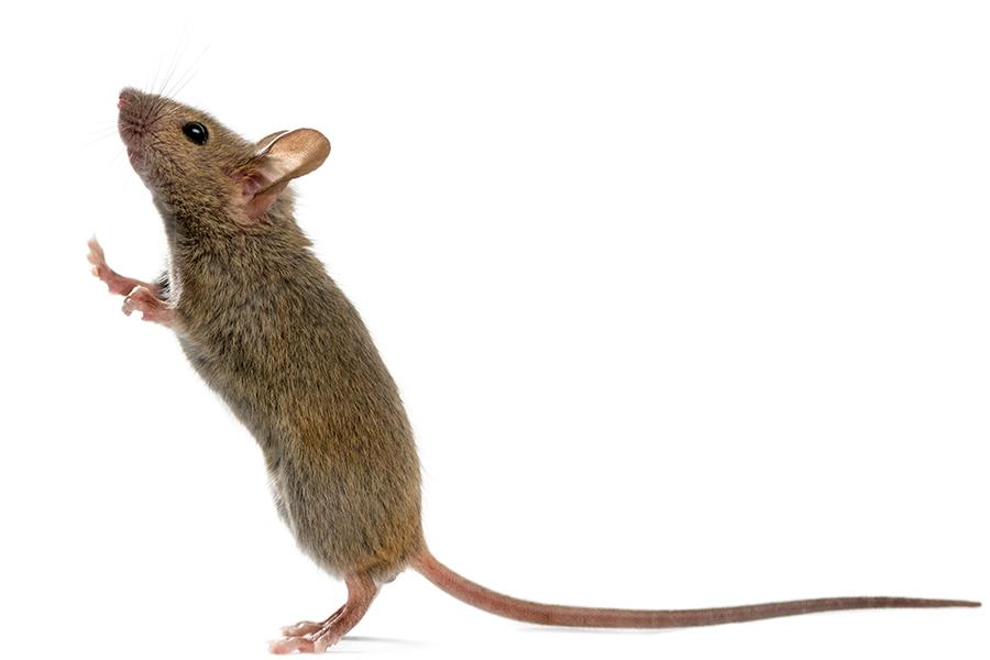 Mouse ()