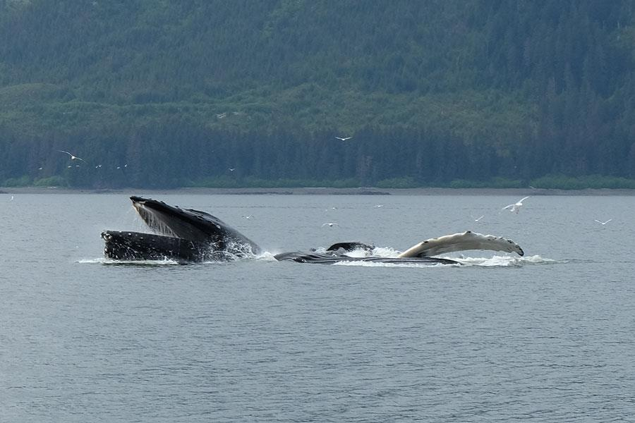 Humpback whale surfacing to eat in Alaska ()